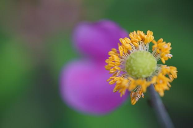 秋明菊 蕊