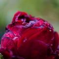 Photos: 深紅の薔薇