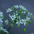 写真: ニラの花  あり