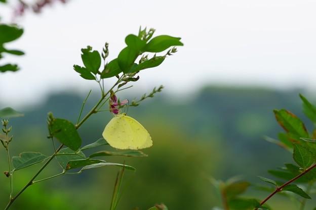 Photos: ハギの花?にキチョウ