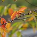 Photos: 桜の紅葉