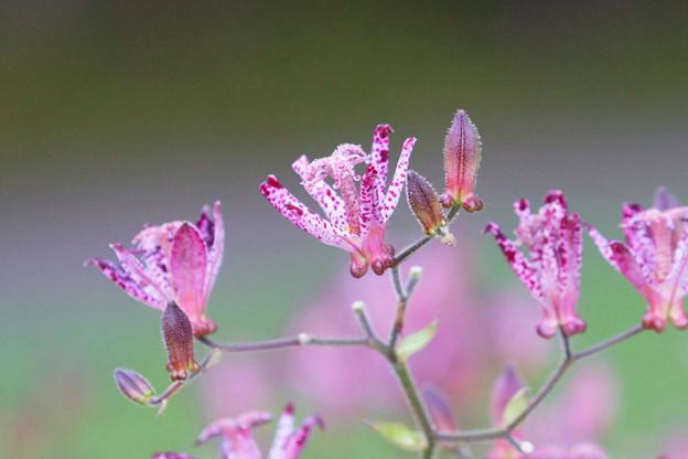 ピンクのホトトギス(3)