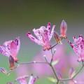 写真: ピンクのホトトギス(3)