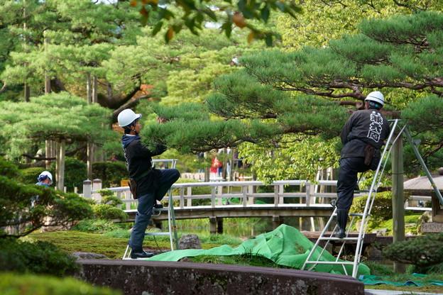 Photos: 兼六園 松の剪定