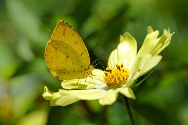 キチョウと黄色いコスモス