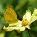 Photos: キチョウと黄色いコスモス