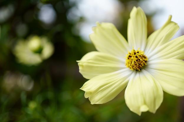 黄色いコスモス(2)