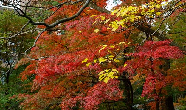 山中温泉 さくら公園 紅葉