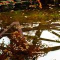 鶴仙渓(山中温泉)さくら公園  落ち葉