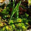 寄せ植えの苔