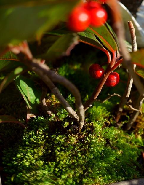 寄せ植えの苔とヤブコウジの実