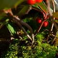 Photos: 寄せ植えの苔とヤブコウジの実