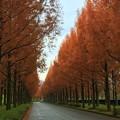写真: メタセコイアの並木道