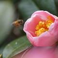 椿・西王母  蜂
