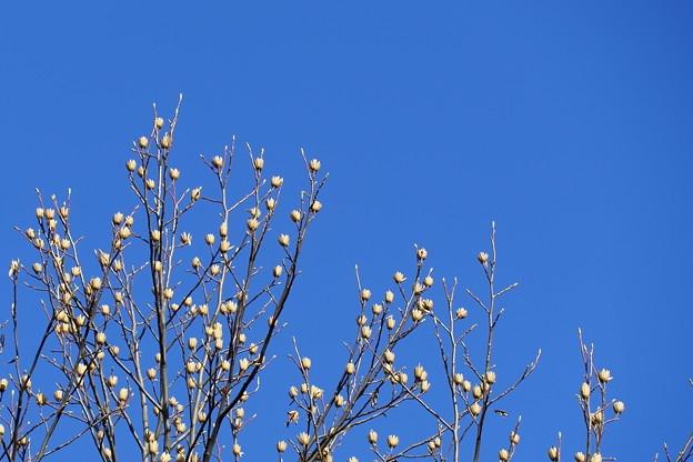 青空とユリノキの花殻がいっぱい
