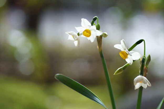 日本水仙が開花(2)