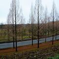 冬のオレンジのカーペット  メタセコイア(1)