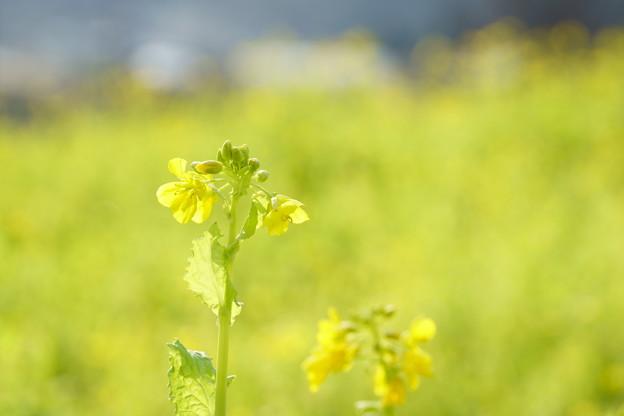 冬の菜の花(1)