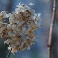 Photos: 冬の紫陽花  ドライフラワー?