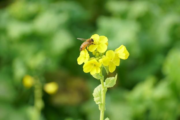 Photos: 冬の菜の花にミツバチさん