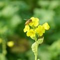 冬の菜の花にミツバチさん