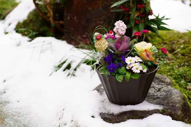 Photos: 寄せ植え  雪と苔の間に