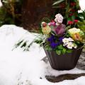 写真: 寄せ植え  雪と苔の間に