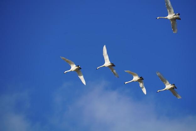 コハクチョウの青空飛翔