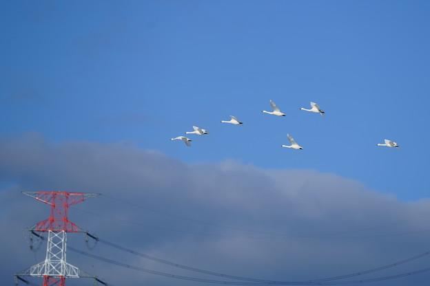 コハクチョウの飛翔