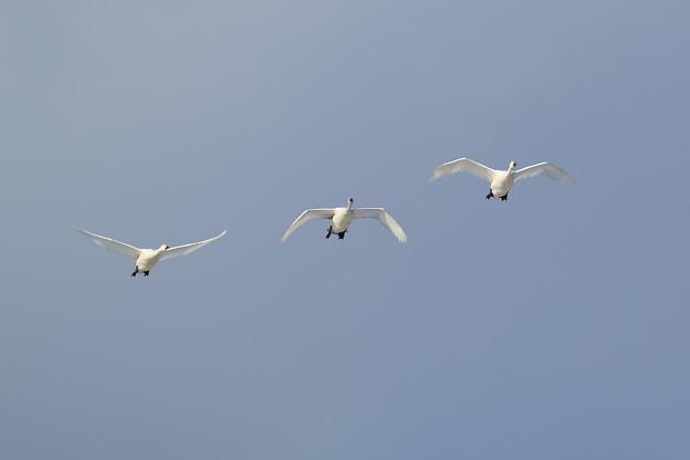 Photos: コハクチョウの飛翔
