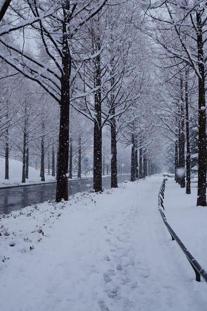 メタセコイアの並木道 雪!゚・※*。。゚*゚。゚。*ヾ・∀・ノ*