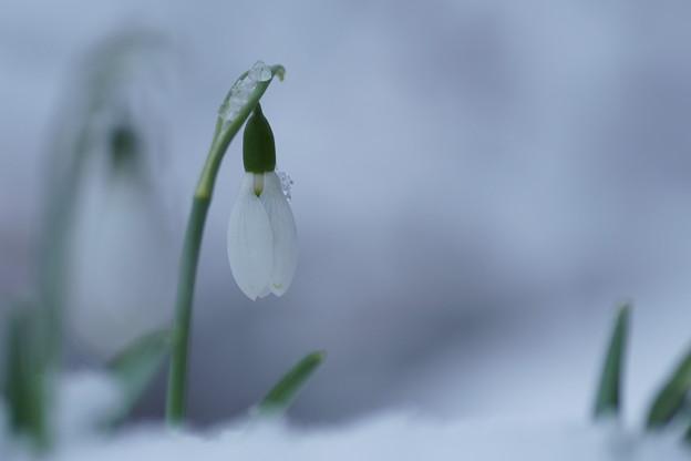 スノードロップ  雪(2)