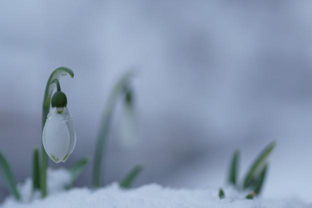 スノードロップ   雪(3)