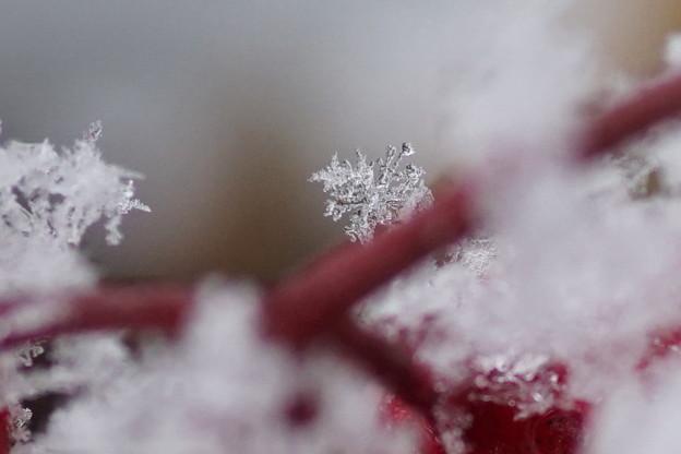 万両の茎  雪の結晶