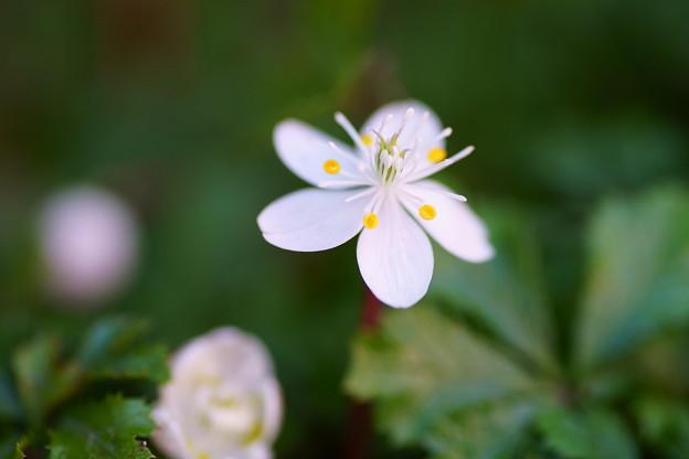 バイカオウレンが開花(1)