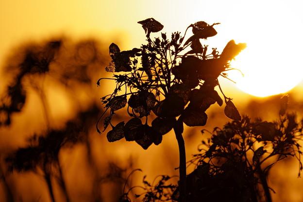 夕日とドライアジサイ