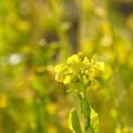 2月の菜の花