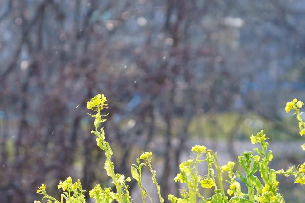 菜の花と小雪