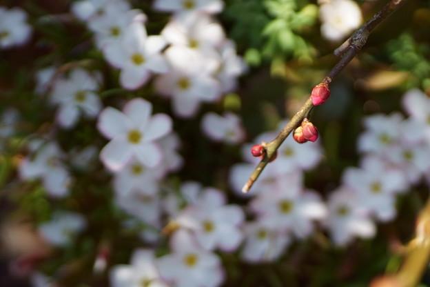 枝垂れ梅の蕾