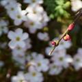 写真: 枝垂れ梅の蕾