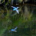 カワセミ 飛翔