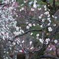 Photos: 白梅  (白加賀)1