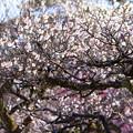 兼六園 梅林  満開の白梅