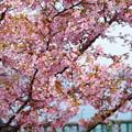満開の河津桜  木場潟