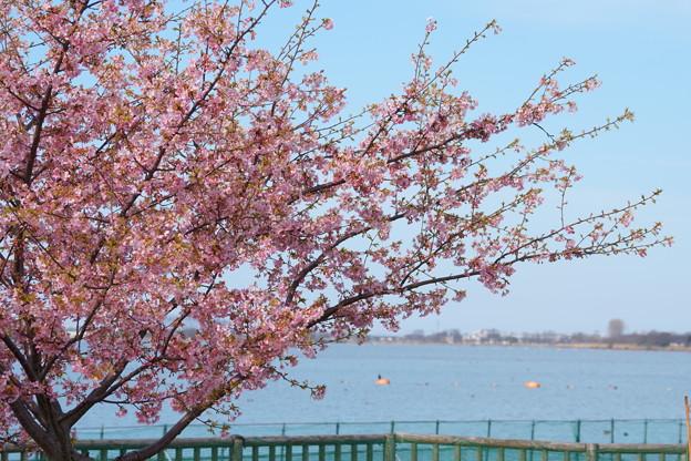 Photos: 満開の河津桜(1) 木場潟公園