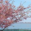 満開の河津桜(1) 木場潟公園