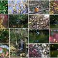 兼六園 梅林と瓢池のカワセミ