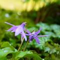 春の妖精 カタクリ