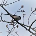 Photos: エナガ(1) 桜はまだかな?