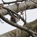 エナガ(2)  桜はまだかな?